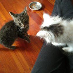 Perché due gatti sono meno impegnativi di uno ? -Storia di Claudietto e Bu-